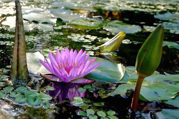 Gardens-June-water-lily