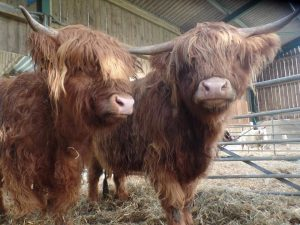 Highland cattle at Godstone Farm, Surrey