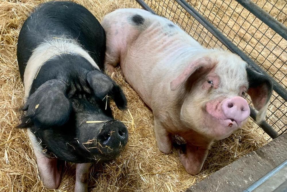 Godstone Farm pigs