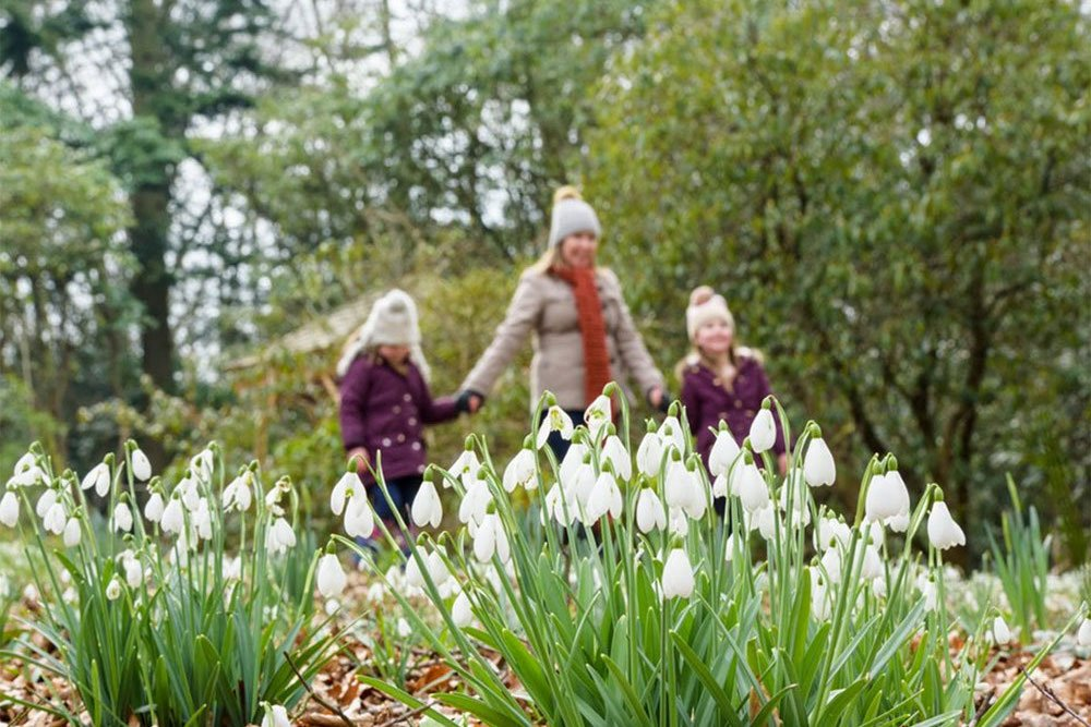 Snowdrops, RHS Harlow Carr